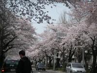 20070401sakura01
