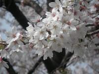 20070401sakura06