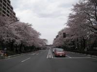 Daigaku_dori_no_sakura